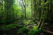 białowieża forest, belarus, poland, primeval forest, hunting preserve