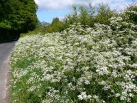 cow parsley, plant diversity, wild flowers