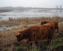 wicken fen, national trust, highland cattle, grazing, trampling