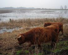 wicken fen, national trust, highland cattle, grazing, trampling