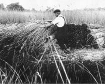 fen-dwellers, reed cutting, lotting fen, the fens, fenland